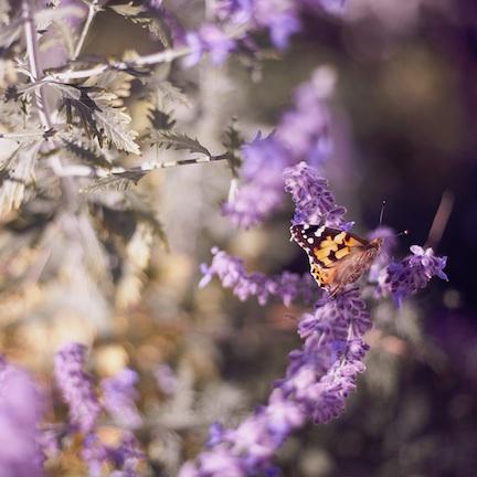Monarch butterfly landing on a lavender bloom.