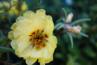 Close up, topical view of a pretty yellow flower.