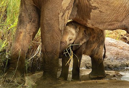 A mother elephant guarding her baby elephant.