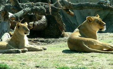 Tow lionesses resting beneath a tree and looking left towards something off camera.